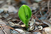 A green adder's-mouth orchid  just popping through the forest leaf-litter and beginning to unfurl its single leaf as it flower spike is emerging.