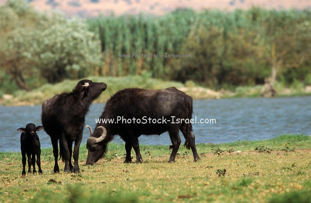 A herd of water buffalo (Bubalus bubalis). Photographed in the Hula Valley, Israel.