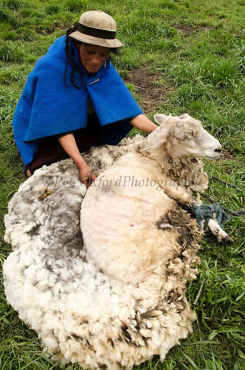 Quechua Indian shearing sheep, at base of Chimborazo Volcano (highest mountain in Ecuador)~Andes, Ecuador, South America, 2011