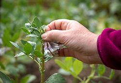 Pinching out broad bean tips to reduce blackfly investations. Vicia faba