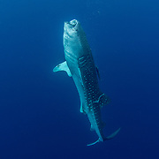 Whale shark (Rhincodon typus), vertical suction feeding on plankton, Honda Bay, Palawan, the Philippines, Sulu Sea