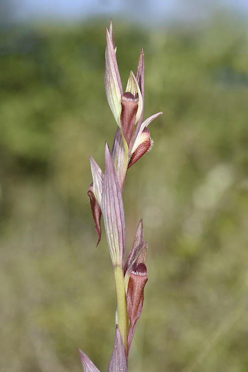 Serapias bergonii - an eastern Mediterranean tongue orchid