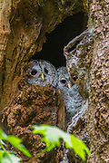 An adult barred owl (Strix varia) cuddles with one of its owlets in its nest in Interlaken Park, Seattle, Washington. Barred owls typically nest in natural cavities that form in decaying trees.