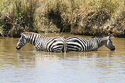 Two Zebras standing in water Photographed at Serengeti National Park, Tanzania, during the annual migration of over one million white bearded (or brindled) wildebeest and 200,000 zebra