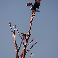 A Bald Eagle (Haliaeetus leucocephalus) lands in a dead tree where its mate is perching.  Gallatin Valley near Bozeman, Montana.