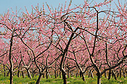 peach trees in orchard spring with pink blossoms<br /> Grimsby<br /> Ontario<br /> Canada