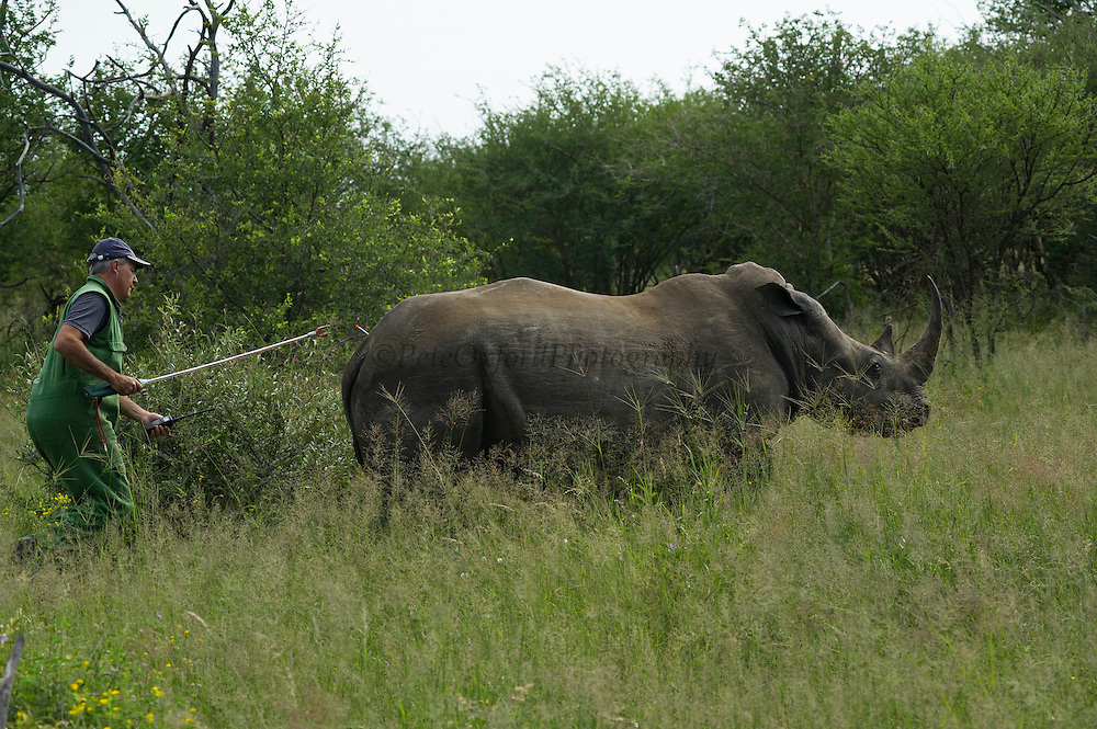White Rhinoceros (Ceratotherium simum) darted for relocation. Conservation Solutions Kester Vickery moving the sedated animal nearer the road<br /> Private Game Reserve<br /> SOUTH AFRICA<br /> RANGE: Southern & East Africa<br /> ENDANGERED SPECIES