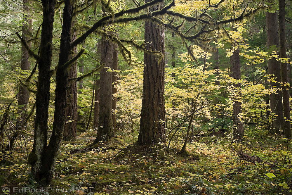 Vine Maples (Acer circinatum) in autumn color find daylight in an opening in of an old growth forest along the Ohanapecosh River in the Gifford Pinchot National Forest, Washington, USA