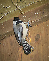 Black-capped Chickadee above my doorway trying to stay warm.. Image taken with a Nikon D300 camera and 18-200 mm VR lens and popup flash (ISO 800, 200 mm, f/7.1, 1/60 sec).