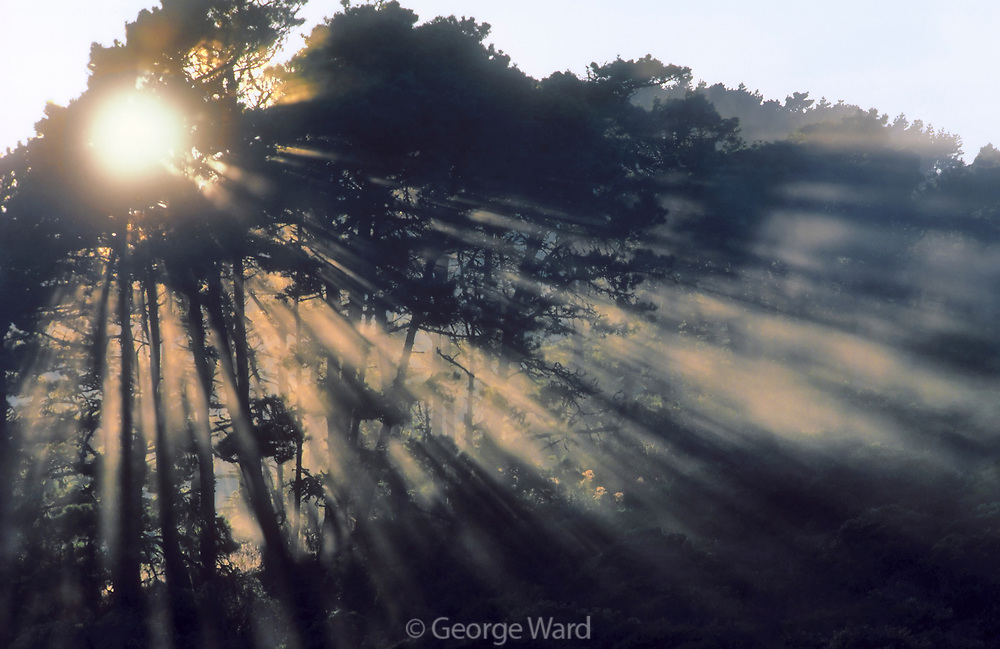 Morning Sunrays through Bishop Pines, Mount Vision, Phillip Burton Wilderness, Point Reyes National Seashore, California