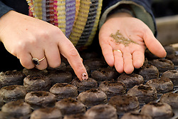 Autumn sowing of hardy seeds into Jiffy 7's - Nigella