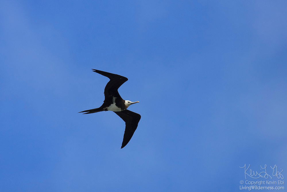 "A great frigatebird (Fregata minor palmerstoni) soars above the Kilauea Point National Wildlife Refuge on Kauai, Hawaii. The Hawaiian word for the bird is ""'Iwa"", which means ""thief."" The bird is known to harass other marine birds until they drop their food."