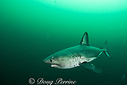 salmon shark, Lamna ditropis, with parasitic barnacles trailing from fins, Port Fidalgo, Prince William Sound, Alaska, U.S.A.; this apex predator, sometimes called the Pacific porbeagle, is a mackerel shark in the order Lamniformes; it swims in cold water, but is warm-blooded ( homeothermic )