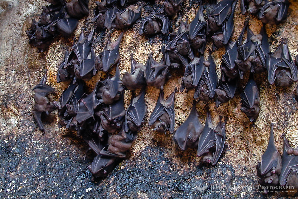 Bali, Klungkung, Goa Lawah. The bat cave. Some of the thousands of bats. A noisy and smelly place.