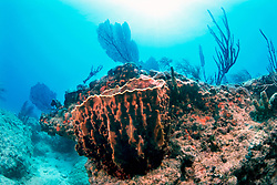 giant barrel sponge, Xestospongia muta, and gorgonians, Gorgonia sp., Captain Keith's Reef, Key Biscayne, Miami, Florida, Atlantic Ocean