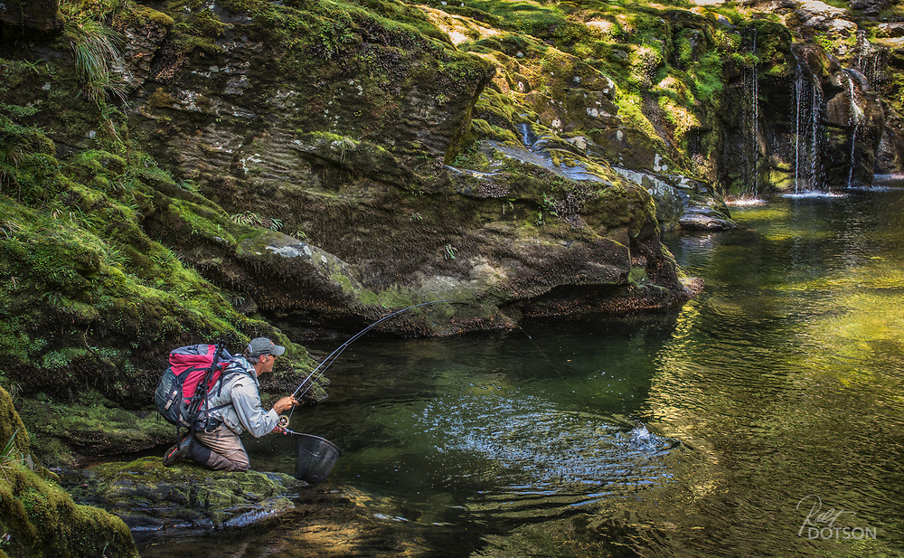 Angler cautiously brings a big brown trout to net in remote gorge on South Island