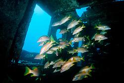 schoolmasters, Lutjanus apodus, Tugboat Wreck, Key West, Florida Keys National Marine Sanctuary, Florida( Atlantic )