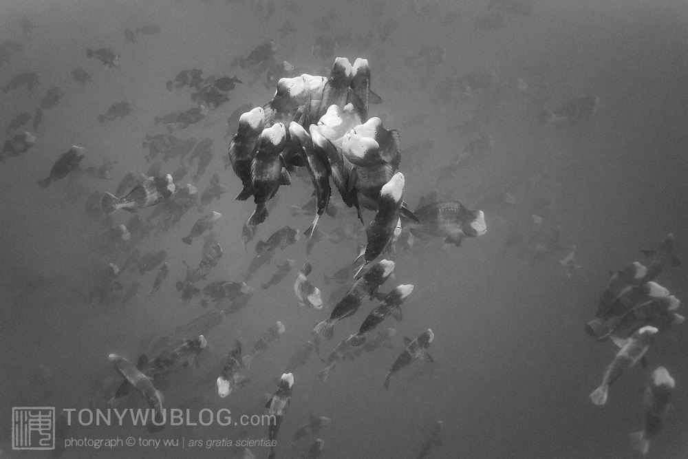 Bumphead parrotfish (Bolbometopon muricatum) engaged in a massive spawning aggregation, with one group of fish pictured here rising above the mass to spawn. There is one female at the center of the mass, with others being male fish. This takes place early in the morning.