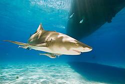 Lemon Shark, Negaprion brevirostris, with sharksuckers, Echeneis naucrates, swimming under boat, West End, Grand Bahama, Bahamas, Atlantic Ocean.