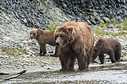 Brown bear spring cubs follow their mother along the lower lagoon at the McNeil River State Game Sanctuary on the Kenai Peninsula, Alaska. The remote site is accessed only with a special permit and is the world's largest seasonal population of brown bears in their natural environment.