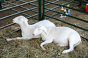 Two goats nap next to their trophies in the livestock competition at the Blue Hill Fair, Maine.