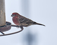 House Finch (Haemorhous mexicanus). Image taken with a Leica SL2 camera and 90-280 mm lens.