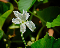 Burma Water Gourd Flower. Image taken with a Fuji X-T2 camera and 100-400 mm OIS lens (ISO 200, 400 mm, f/5.6, 1/900 sec).