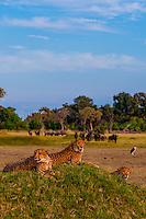 Cheetahs on a mound, near Kwara Camp, Okavango Delta, Botswana.