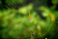 Spider in its Web. Image taken with a Nikon D3 camera and 105 mm f/2.8 macro lens (ISO 200, 105 mm, f/5.6, 1/60 sec)
