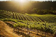 Sunrise over  Beringer Vineyards Chabot Vineyard in Saint Helena. Napa Valley.