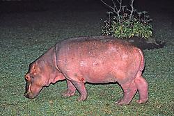 Shire River Hippopotamus