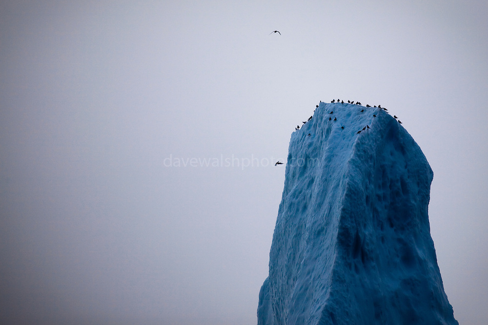 """Birds on the peak of an iceberg, Baffin Bay, off West Greenland. <br /> <br /> This mage can be licensed via Millennium Images. Contact me for more details, or email mail@milim.com For giclée prints, contact me, or click """"add to cart"""" to some standard print options."""