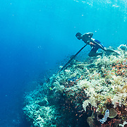 A subsistence spear fisherman in Indonesia peers over the coral wall for potential prey.