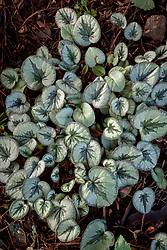 Cyclamen coum foliage in autumn