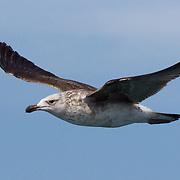 Kelp Gull, juvenile, Western Cape, South Africa
