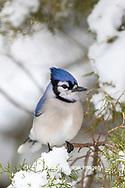 01288-05819 Blue Jay (Cyanocitta cristata) in Juniper Tree in winter Marion Co. IL