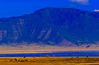 Zebra in front of Lake Magadi (covered with flamingos), Ngorongoro Crater, Ngorongoro Conservation Area, Tanzania