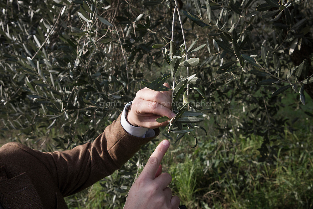 CALENZANO, ITALY - 24 NOVEMBER 2014: Olive oil producer Federico Dufour shows the unusual blossoming of an olive treee which should take place in the spring, here on an olive tree of his property in Calenzano, 20 kilometers north of Florence, Italy, on November 24th 2014.<br /> <br /> The olive harvest was practically non-existent this fall in Calenzano because of the Bactrocera oleae, an olive fruit fly that this year ravaged entire olive crops. Italy's Institute of Services for Agriculture and Food Market, or ISMEA, calculated that olive oil production fell on average by 35 percent from 302,000 tons from 463,000 the previous year.