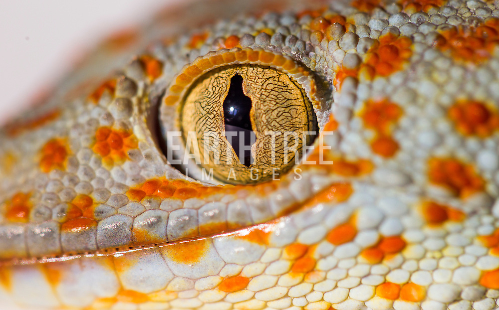 The tokay gecko (Gekko gecko), Tokay geckos are culturally significant in many East Asian countries. Regional folklore has attributed supernatural powers to the gecko. In Southeast Asia it is a symbol of good luck and fertility. It is believed to be descended from dragons. This species is poached for the medicinal trades in parts of Asia. The Tokay gecko is an ingredient in Traditional Chinese medicine known as Ge Jie (蛤蚧). It is believed to nourish the kidneys and lungs, beliefs that are not substantiated by medical science. The animal remains highly sought after in China, Hong Kong, Taiwan, Vietnam, Malaysia, Singapore and other parts of Asia with Chinese communities, to the point where unscrupulous merchants have taken to disfiguring monitor lizards with prosthetics to pass them off as colossal Tokay gecko specimens.Photo: Paul Hilton for Earth Tree  <br /> <br /> The Tokay gecko is quickly becoming a threatened species in the Philippines due to indiscriminate hunting.
