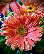 Gerbera Daisy, Spring flowers