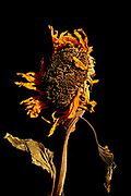 Wilted sunflower on black background