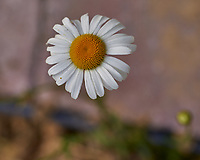 Daisy. Image taken with a Leica TL2 camera and 60 mm f/2.8 macro lens.
