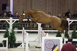 008 - Moser van t Verahof<br /> Hengstenkeuring BWP - Azelhof - Koningshooikt 2015<br /> ©  Dirk Caremans