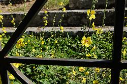 Mottenkruid, Verbascum blattaria