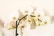 Digitally enhanced image of a White Phalaenopsis Orchid on white background