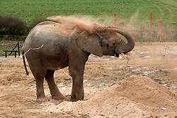 "© Licensed to London News Pictures.  03/04/2015. Wraxall, North Somerset, UK.  Jumbo playtime makes Friday good for elephants!  M'Changa a 6 year old African male elephant blows sawdust while enjoying treats such as brussel sprouts hidden in the pile of sawdust at Noah's Ark Farm Zoo on Good Friday.  Noah's Ark Zoo Farm is celebrating the first anniversary of its Elephant Eden, the largest habitat for elephants in northern Europe.  The special facility officially opened with the arrival of its first resident, African elephant Buta in early 2014. Since then, 9 year old African bull Janu and 6 year old bull M'Changa joined the project in September and November last year.  All three elephants have settled in brilliantly together and are enjoying Europe's largest 20 acre complex. The enclosure provides an impressive environment for the elephants, with plenty of space, stimulating enrichments and excellent care. Described by elephant management consultant, Alan Roocroft as a ""five star destination for elephants"", Elephant Eden ensures the elephants happiness and long-term welfare.  Photo credit : Simon Chapman/LNP"