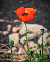 Red Poppy flower.  Image taken with a Leica SL2 camera and Sigma 105 mm f/2.8 macro lens.