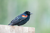 Red-winged Blackbird (Agelaius phoeniceus) Male, all black with a red shoulder patch bordered by yellow.  Sylvan Lake State Park, Colorado.