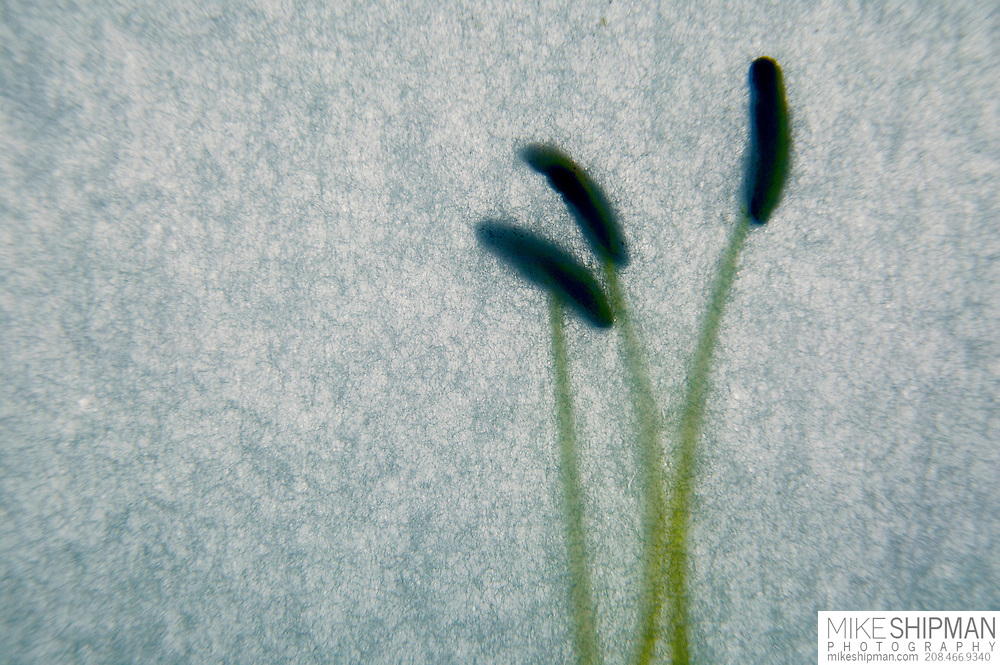 Three Lily stamens with green stems on a blue variegated background