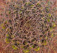 Barrel Cactus (Ferocactus) pattern with new flower buds, Anza-Borrego Desert State Park, Californin, USA. in the Anza Borrego Desert, California